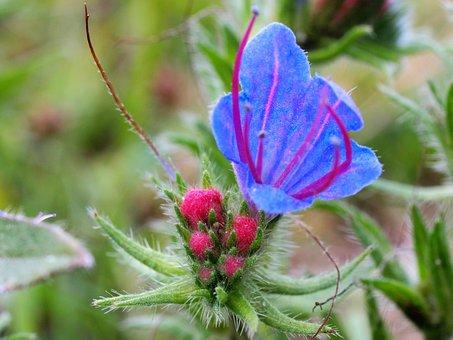 Nature, Slangenkruid, Flower, Blue, Stamens, Medicated
