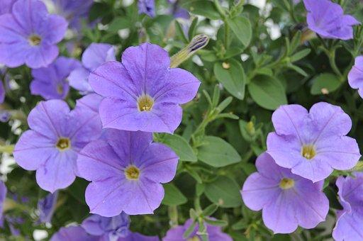 Petunia, Flower, Blossom, Bloom, Blue