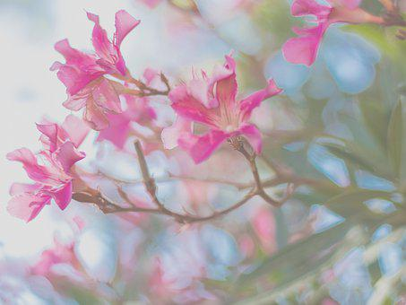 Pink, Love, Flower, Nature, Bloom, Romance, Blossom