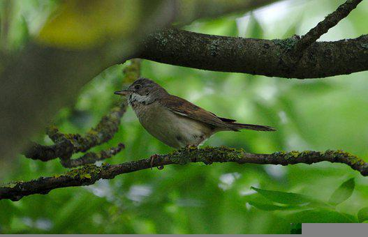 Tube Singer, Bird, Tree, Branch, Nature