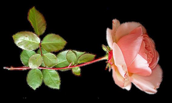 Flower, Pink, Rose, Stem, Plant, Cut Out