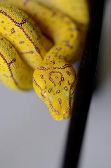 Green Tree Python, Snake, Python, Green