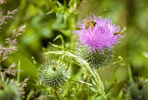 Thistle, Flower, Insect, Bee, Hoverfly