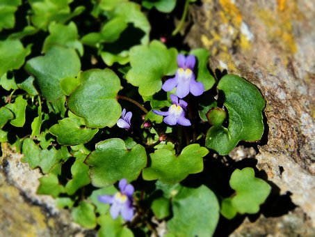 Ivy Leaved Toadflax, Cymbalaria Muralis