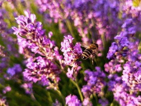 Bee, Flies, Lavender, Flowers, Summer, Nature, Purple