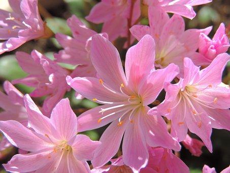 Lewisia, Longipetala, Little Plum, Pink Flower, Garden