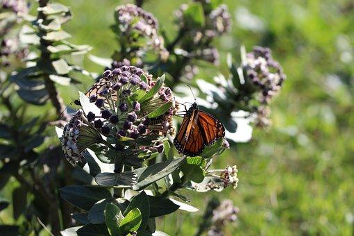 Milkweed, Monarch Butterfly, Butterfly Host Plant