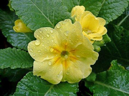 Flower, Yellow, Primrose, Plant