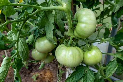 Tomatoes, Vegetables, Garden, Sheets, Food, Healthy