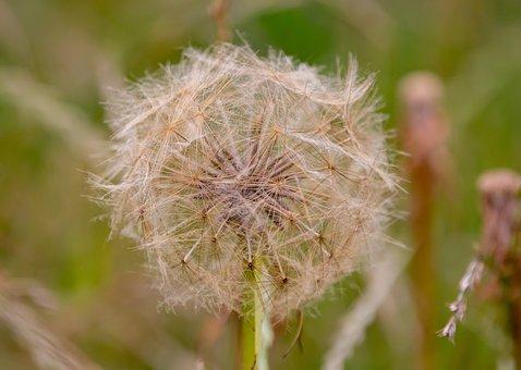 Salsify Seeds, Salsify Flower, Wild Flower