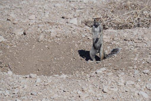 Xerius Inauris, Namibia, Park, Nature, Desert