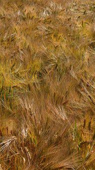 Texture, Barley, Agriculture, Grain