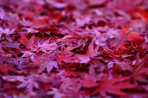 Maple, Ahorn, Red Maple, Ahornblatt, Leaf, Makro