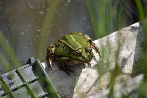 Frog, Pond, Animal, Water, Amphibians, Pond Inhabitants