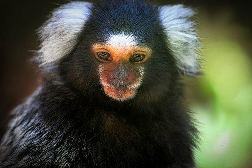 Monkey, Small, Black, White, Colobus Monkey, Zoo
