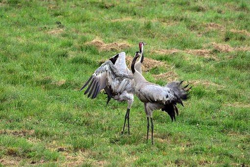 Cranes, Crane, Bird, Birds, Spring