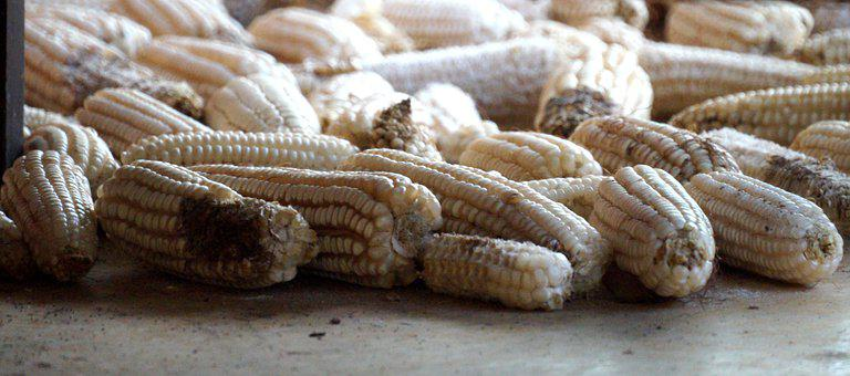 Nature, Gramineas, Ears, Corn, Colombia
