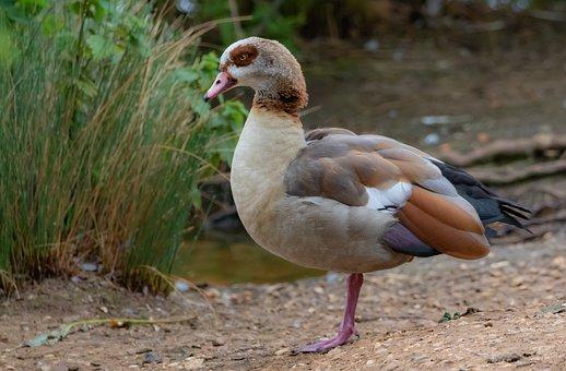Egyptian Goose, Goose, Egyptian, Animal