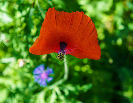 Poppy, Flower, Poppies, Red, Nature