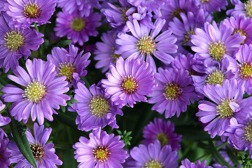 Flowers, Purple, Blossom, Bloom, Garden