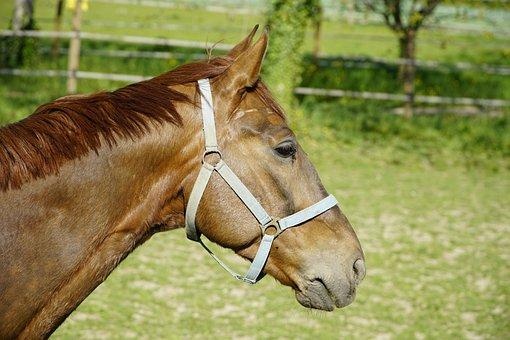 Chestnut, Horse, Animal, Equine, Brown, Head, German