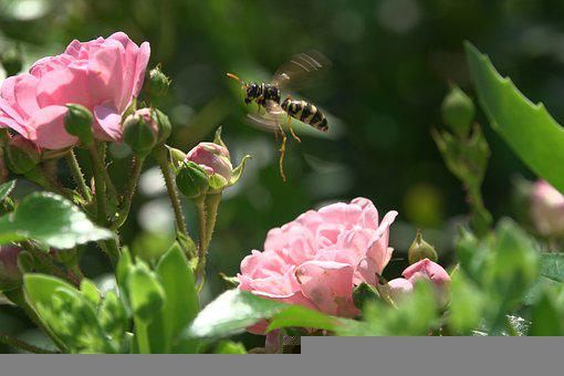 Wasp, Hornet, Blossom, Bloom, Flower, Nature, Insect