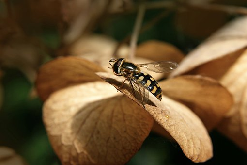 Hoverfly, Insect, Wing, Garden, Summer, Close Up, Macro