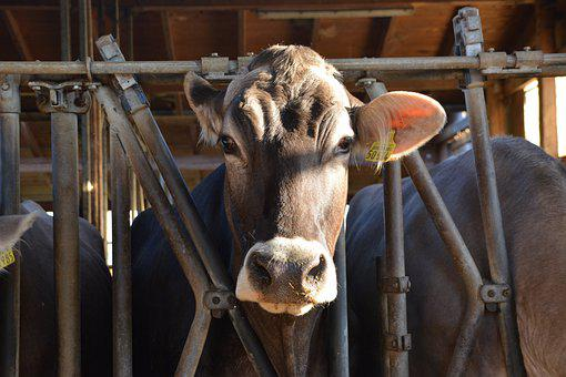 Cows, Stall, Farm, Bauer, Land, Country Life, Bavaria