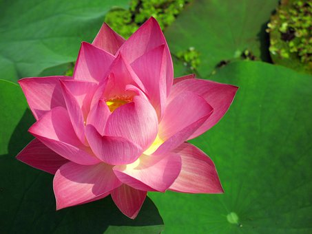 Lotus Flower, Water Lily, Lotus, Lily, Pink, Buddhism
