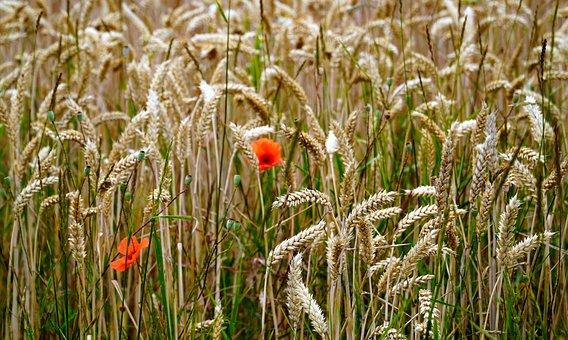 Cereals, Field, Cornfield, Arable, Nature, Landscape