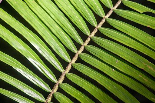 Palm, Plant, Green, Tropical, Leaf