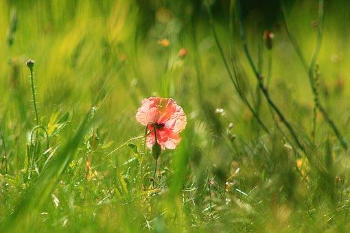 Nature, Plants, Poppies, Flourishing