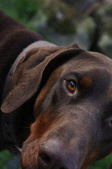 Dog, Animal, Pet, Portrait, Canine, Brown, Friends