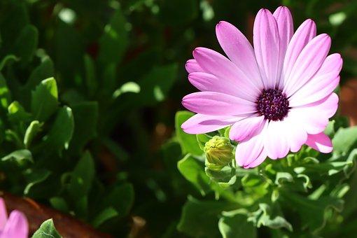 Daisies, Purple, Green, Meadow