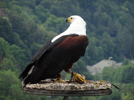 Adler, Raptor, Bird Of Prey, Bird, Bird Waiting
