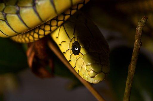 Mamba, Snake, Reptile, Dangerous, Toxic