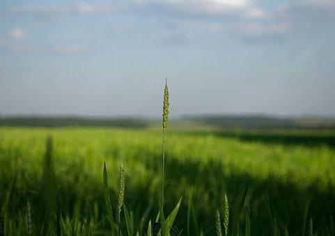 Kolos, Wheat, Spikes, Village, Harvest