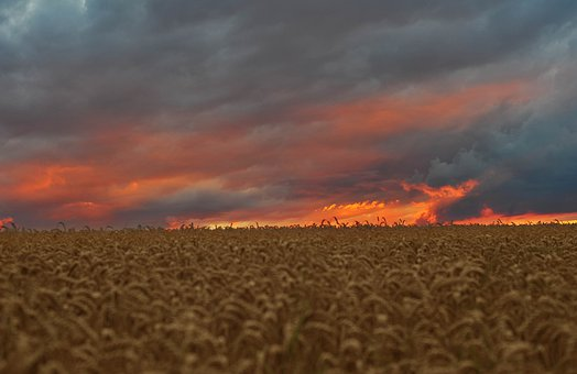 Corn Field, Weizenfeld, Sundown, Sonnenuntergang