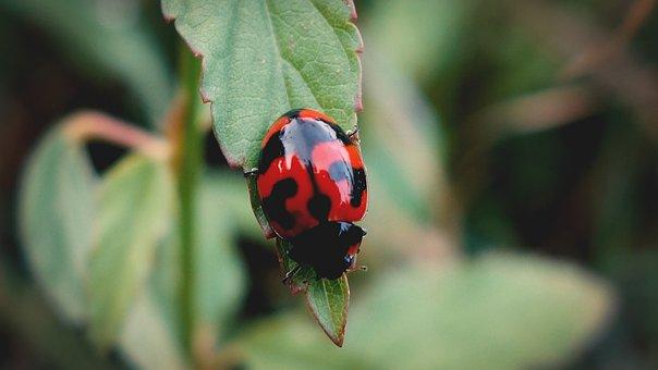 Bug, Insect, Ladybug, Wildlife, Insects, Animal, Macro