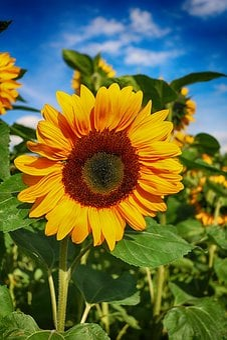 Sun Flower, Flower, Blossom, Bloom, Summer, Field