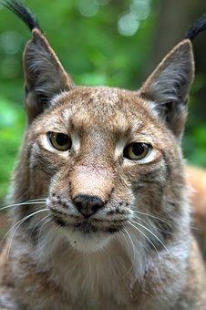 Lynx, Cat, Felidae, Mammals, Eurasischer Lynx