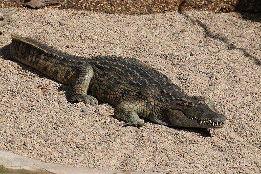Crocodile, Alligator, Zoo, Dangerous, Predator