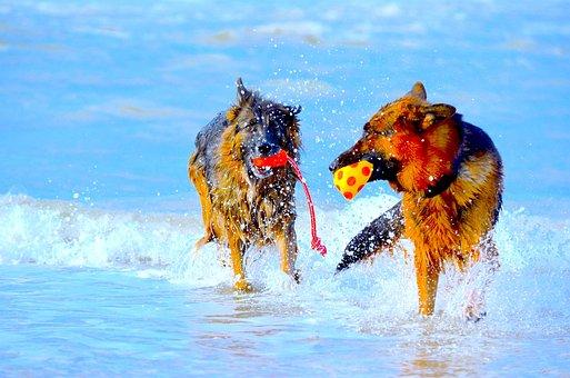 German Shepherd, Dogs, Play, Beach, Color, Sea, Two