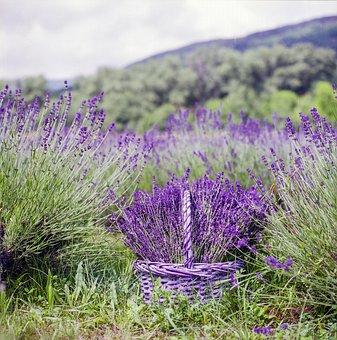 Lavender, Basket, Nature, Summer, Flower, Natural