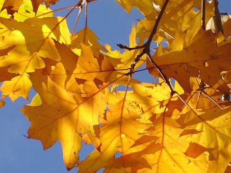 Red Oak, Oak Leaves, Autumn, Leaves, Golden, Yellow