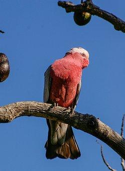 Galah, Rose-breasted Cockatoo, Parrot, Bird, Pink, Grey