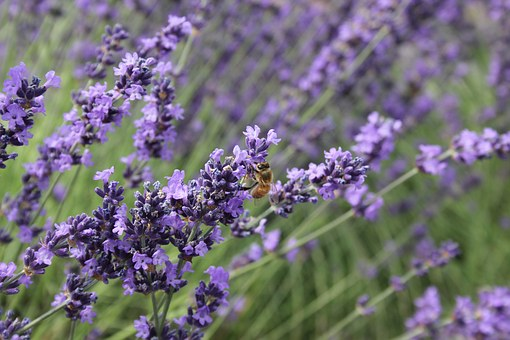 Bee, Lavender, Oregon, Purple, Insect, Flower, Nature