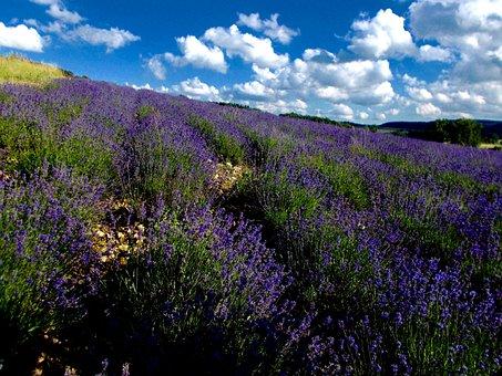 Lavender, Lavender Field, Lavandula Angustifolia