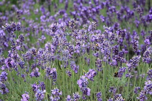 Flower, The Scenery, Ppt Backgrounds, Lavender, Field