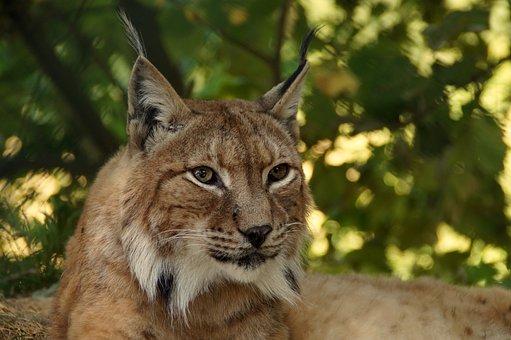 Lynx, Animal, Big Cat, Cat, Wildcat, Lynx Lynx
